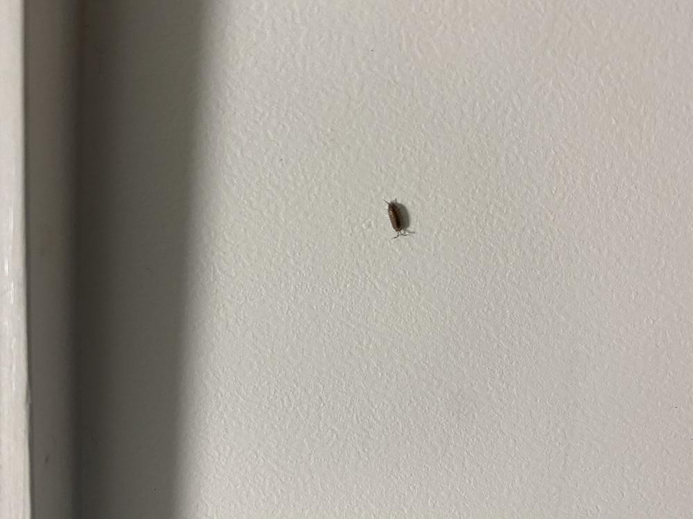最近家の中で出てくるこの虫は一体何なのでしょうか? 添付写真の虫が1日に3〜4匹程度見かけます。 サイズも大きくなく特に気持ち悪い等はないのでそのままティッシュで取って捨ててしまうのですが単純に気になってしまいました。