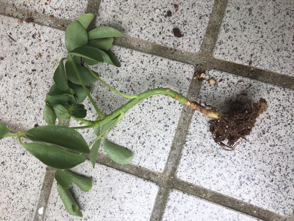 カポックがしなしなです。 初めてカポックを育てる初心者です。ダイソーで購入したカポックを2ヶ月前に植え替えたのですが、葉がしなしなのまま元気になりません。昨日強風で倒れてしまいカポックが抜けてしまったのですが、画像のように根本がくびれていて、購入した時から全く根を張っていないことがわかりました。くびれの手前でカットして挿し芽にした方がいいでしょうか?それともこのまままた植え直して様子を見た方がいいでしょうか? 栽培環境 中国地方、気温10〜24℃、室外の明るい日陰、水やりは二週間に一度くらい。 母が購入した時から曲がっていて、根本もくびれていた可能性大です。