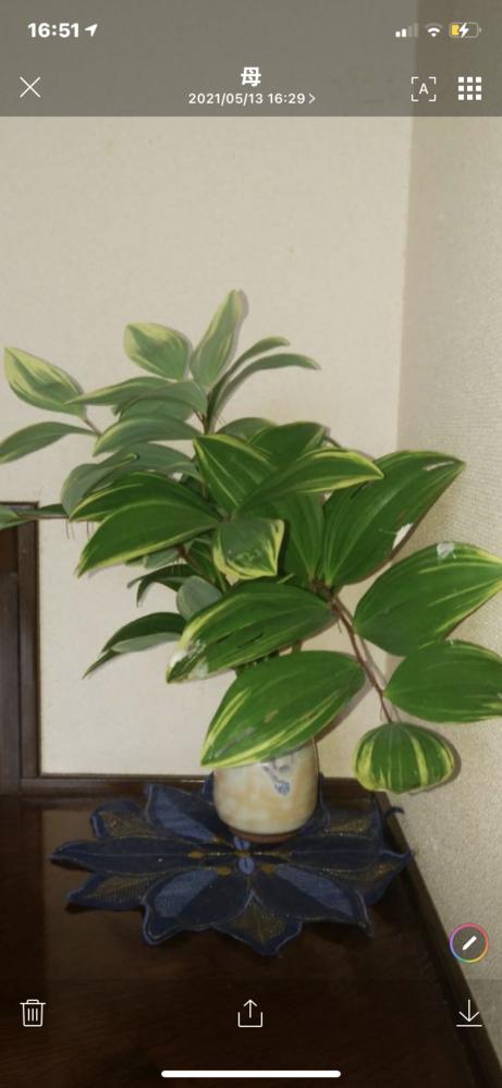 画像の観葉植物の名前を教えてください。