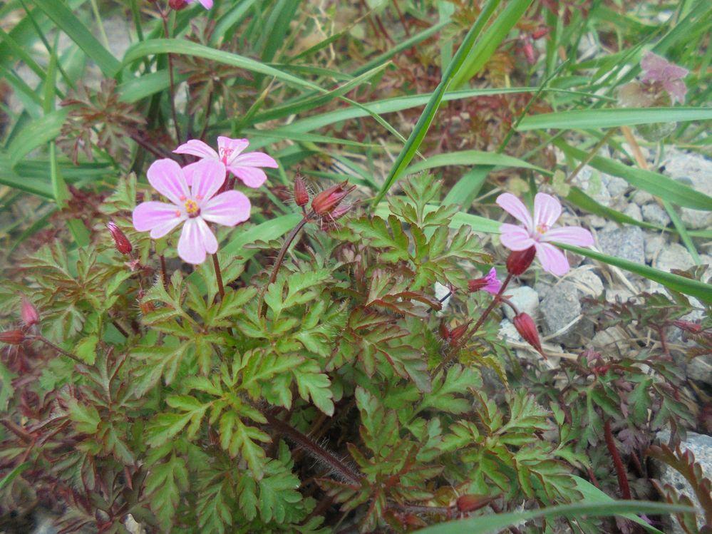この雑草の名前を教えてください。 8ミリ程のピンクの花びらが5枚 葉はギザギザで赤みを帯びて。草丈は10㎝位。 今咲いています。毎朝ペットの散歩の時、目にします フウロにも似ているけど 花の時期も違うし 可愛くて 気になります。お願いします!