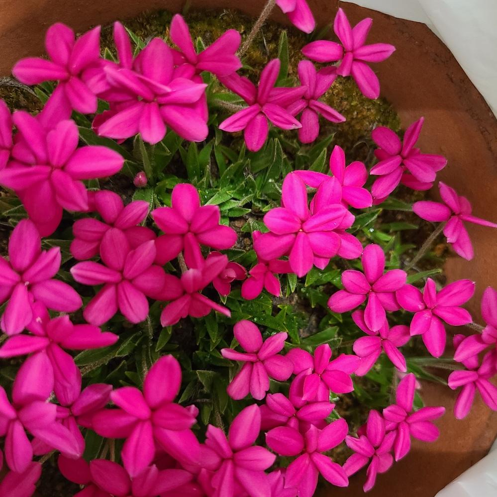 知り合いからもらった花です。 球根で増えていくらしいのですが、くれた人も花の名前がわからないそうです。 ご存知のかたがおりましたら、教えてください。