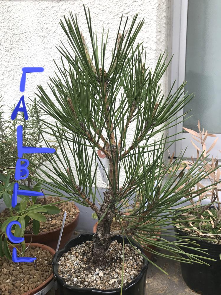 盆栽の改作(錦松)の相談 初めまして。盆栽初心者なのですが、 ホームセンターで錦松の盆栽を入手しました。 直幹にしようと思っていたのですが、 上の部分(A)の部分が間延びしてしまっているように 見えます。 Aの下側、もしくはBの下側を冬にでも切ってしまうべきでしょうか? なにかそれ以外の方法とかあればご教授いただければと思います。 よろしくお願いします。