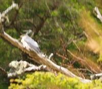 バードウォッチング初心者です。 この鳥の種類が判る方教えて下さい。 本日撮影、標高2000メートルほどの高地の針葉樹林で見かけた鳥です。 大きさはハト〜カラスほどの大きさはあったと思います。 カメラの設定ができずに、ブレブレの写真ですが判りますでしょうか??  宜しくお願い致します。