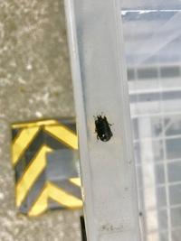 クワガタのような、ゴミムシのような、カメムシのような見たことの無い虫を見つけたのですが、これは何という虫ですか? プラスチックケースを登っていたので、カメムシとかかと思ったのですが、小さいクワガタみたいなツノもあり、謎の虫です。