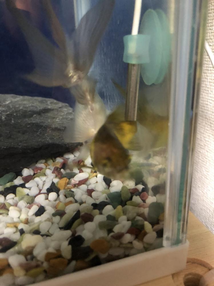 ◎至急◎この金魚の性別を教えてください! 奥の尾っぽを向けてるこです。 お尻の写真のせます。お願いします。