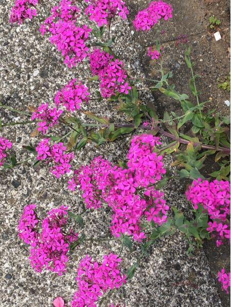 このお花、雑草は何という名前でしょうか。この他にも白色とかがあった気がします