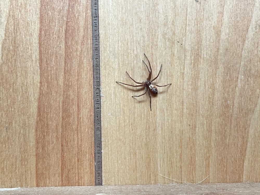 !蜘蛛の画像あります!苦手な方注意! 家に出た蜘蛛です。 なんの蜘蛛か分かりますか?? 見たことの無い蜘蛛だったので。 よろしくお願いします。