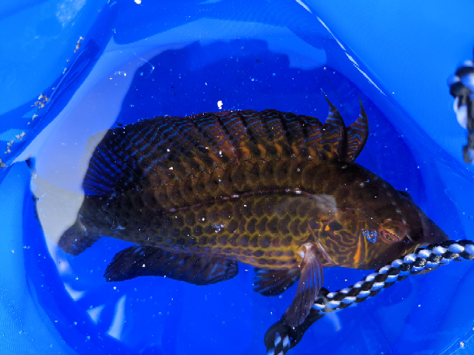 この魚はなんという名前ですか?食べることは出来ますか? 北九州市若松区で釣れたものです。