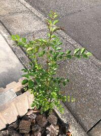 家の駐車場に生えてた植物を放置しといたら大きくなってしまったのですが、なんだか名残惜しくて抜きづらいです。 雑草だと分かれば気持ちよく抜けるのですが、誰に聞いてもなんの植物なのかわかりません。 どなたか教えていただけると助かります。  ちなみにですが、近所にはクスノキ、シマトネリコ、アオダモがあります。 それのどれかなのでしょうか…。  植物に詳しい方、宜しくお願い致します!