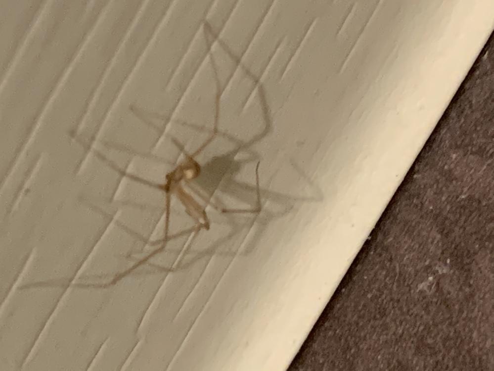 こんな蜘蛛がいます。体長1~2cmほどです。 なんという蜘蛛ですか?放置していても大丈夫でしょうか? 家の中で何匹か見つけたのですが、どこかで繁殖しているのでしょうか? ご存知の方アドバイスよろしくお願いいたします。
