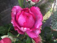 バラなんですが、 つぼみのうちに 虫食いだか?枯れてるんだか? 花びらのふちが 綺麗な状態ではありません。  これでも一応咲くのですが どうしたらよいですか?