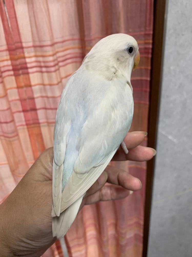 この小桜インコを買った時はまだ、 羽が生え揃っていなくて、多分アメシナのバイオレットイノオパーリンだと言われました。今2ヶ月くらいなのですが、わかる方いらっしゃいますか?