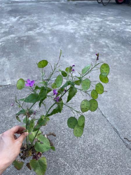 この花の名前は何ですか? 教えてください。