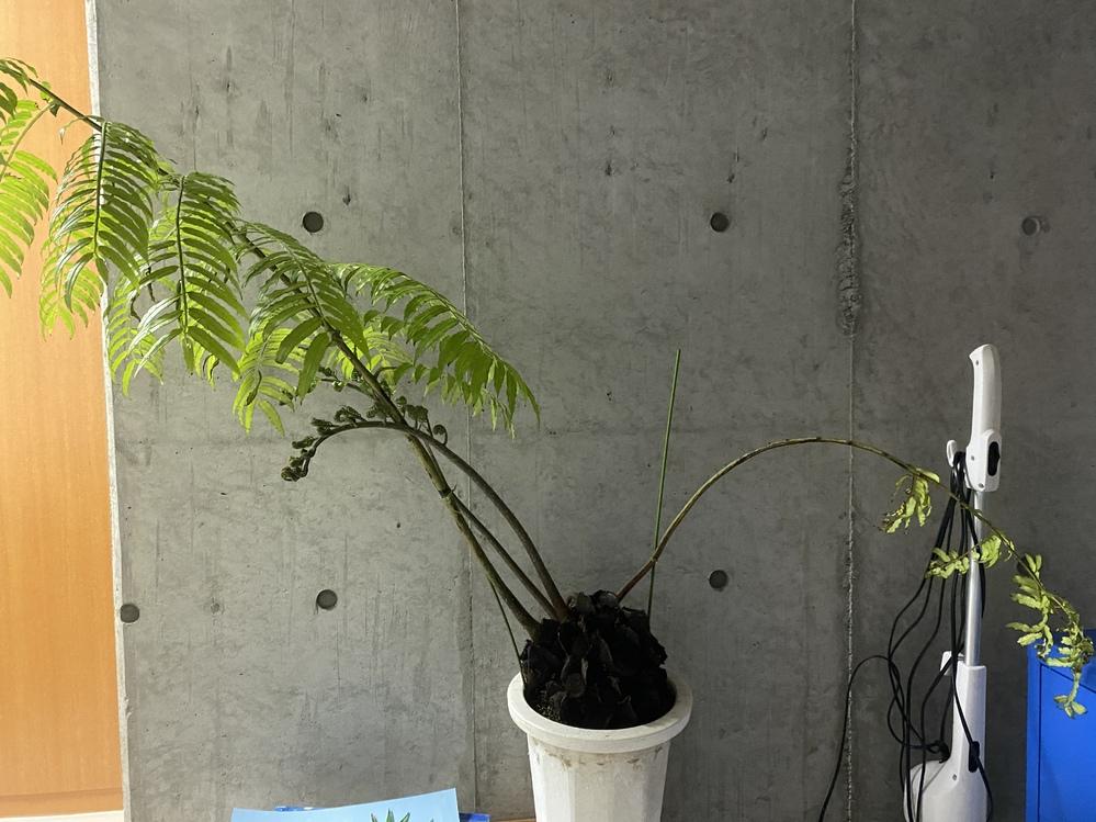 観葉植物が右だけ枯れてしまいました。左だけは元気なのですが、原因は光でしょうか? 右側がはほとんど日光は当たってません。左はある程度日光が当たっています。新芽も右だけどんどん伸びてます。どなたかご教授ください。