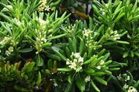 この花の名前を教えて下さい。 海岸の遊歩道に植栽されていました。 シャリンバイでしょうか?