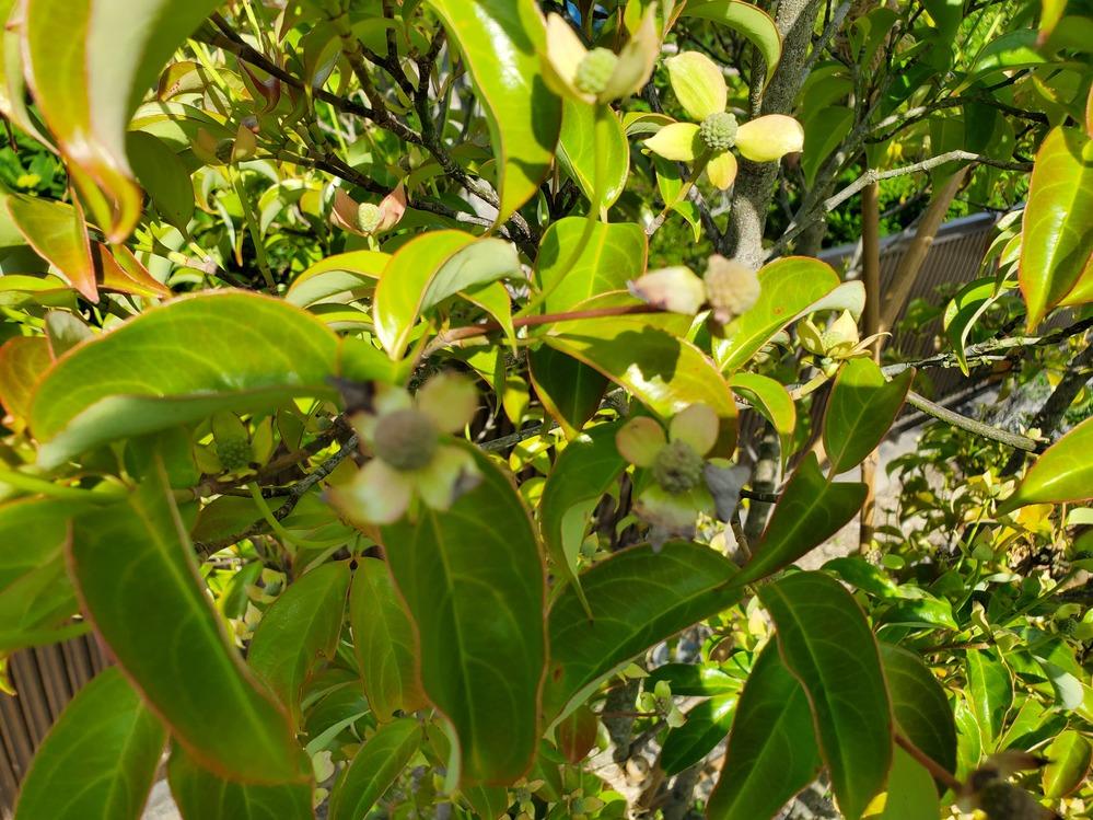 庭に常緑ヤマボウシを植えているのですが、先端がこげたような花がぽつりぽつりとあります。 また、実の奇形があったり、実がこげたようなものもあります。 葉はいたって正常だと思われます。 炭疽病なのでしょうか? 詳しい方、原因と対処法教えて欲しいです。 他の樹木に被害が拡大する可能性とかあるんでしょうか?