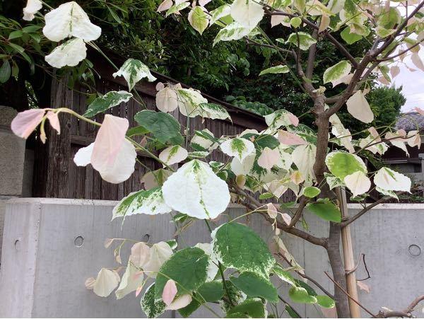 この木の名前を教えてください。 高さは3メートル程で、柔らかく薄手の葉でした。