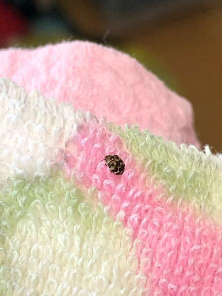 この虫はなんですか… バスタオルについてました…… ゴマぐらいのサイズでした。