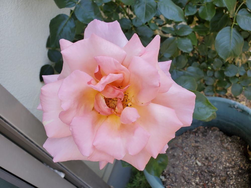 7~8年前に庭に地植えにしたバラです。 品種ラベルがなくなって品種が判らなくなりました。 いろいろ調べてティファニーかなと思いましたが、確信ができなくて。。 このバラの品種教えてください。 特徴 春と秋に咲きます。 生育旺盛 濃いグリーンの葉っぱ 枝太い 病気に強い! ピンクで真ん中がイエロー 大輪 香り有り(何系の香りかわからないです。) わかる方よろしくお願いいたします。