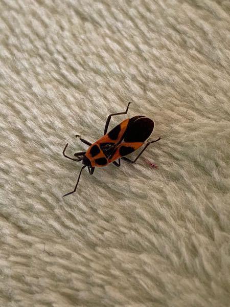 【画像あり】 この虫は何ですか?部屋の絨毯で死んでました。