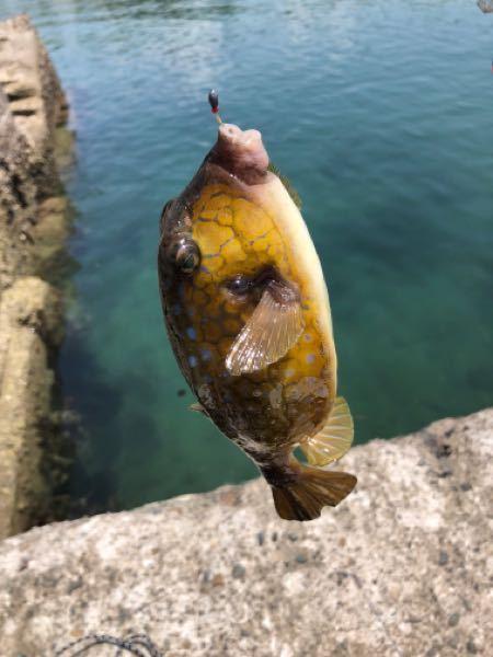 釣りでハコフグが釣れました ハコフグも毒があるみたいですが、食べられますか? 逃がしてあげた方が良いでしょうか?