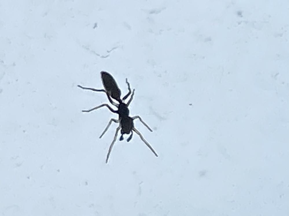 これはアリですか、アリグモですか なんかありっぽくない気がしたので…見分けがつきません><