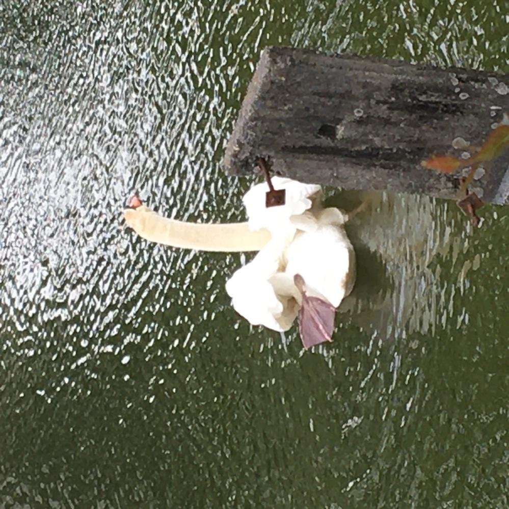 この白鳥の足の位置は正常でしょうか? おかしくありませんか?