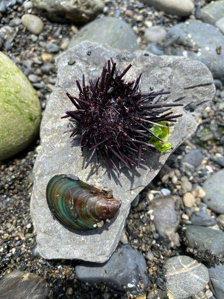 海で見つけました。貝の名前と、ウニのような物体の名前を教えてください。