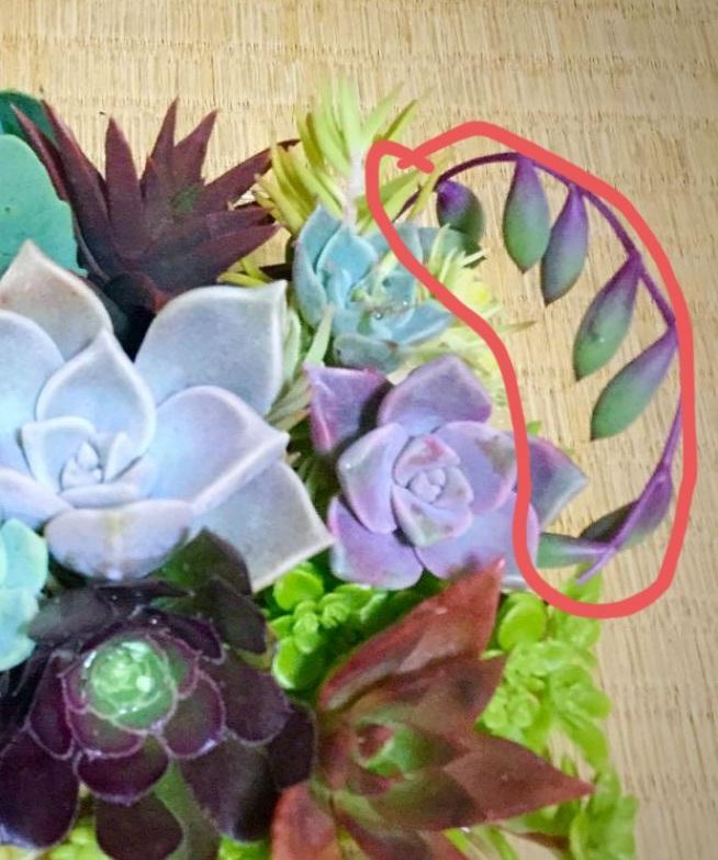 この多肉植物がわかる方いらっしゃいますか? 画面丸内のツルが紫の子です。