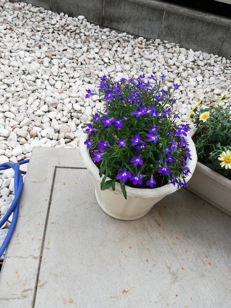 この青い花の名前を教えてください。 また、育てかたのポイントや水やり頻度など教えていただけると嬉しいです。 よろしくお願いいたします<(_ _*)>