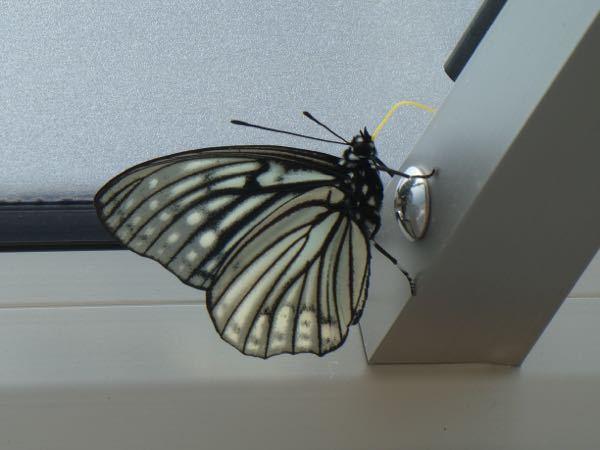 蝶の名前を調べています。名前をご存知の方教えてください。