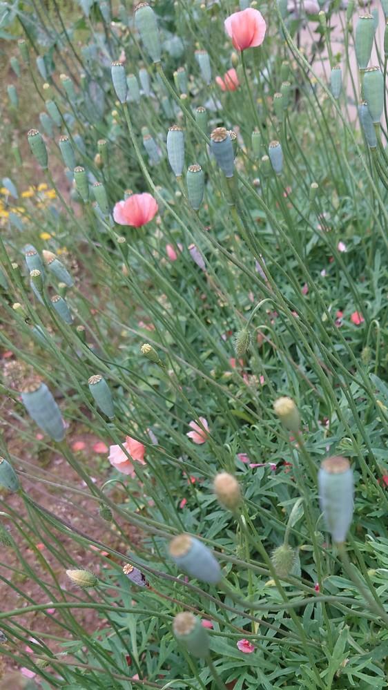庭に沢山咲いてしまったのですが、これは何という花ですか??