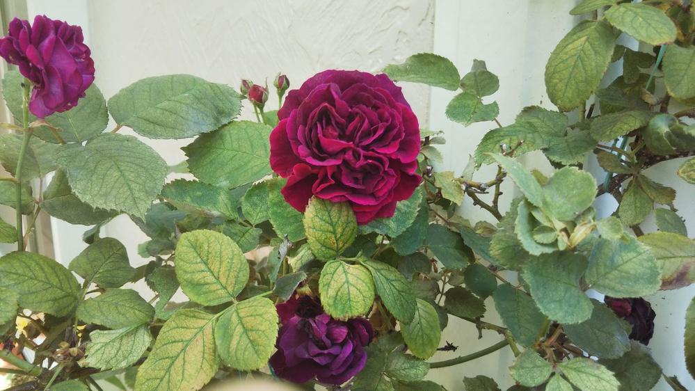 バラの名前を教えてください。 花の色は黒赤色、花の直径が7㎝、顔を近づけるとかすかに甘い香りがあります。 葉には光沢がなくカサカサして、枝がよく伸びて、つるバラと思われます。 詳しいかたに教えていただけると助かります。よろしくお願いいたします。