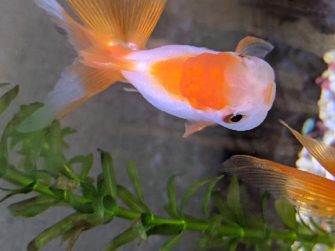 今日金魚を買ってきました。 今見ると白い点のようなものがポツリとあります。 模様でしょうか?白点病でしょうか?