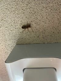 ここ2週間くらい、毎日この虫が出ます。何故か1日1匹です。外から入ってきたのかも知れません。一応洗濯物干すとき以外は網戸してます… 家の中で発生してる気がします。 もしそうなら駆除しなくてはいけません。どんな所探したら良いでしょう? この虫、はどんな虫ですか?