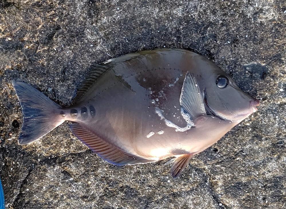 これはなんという魚でしょうか? 千葉県某所にて釣れました。