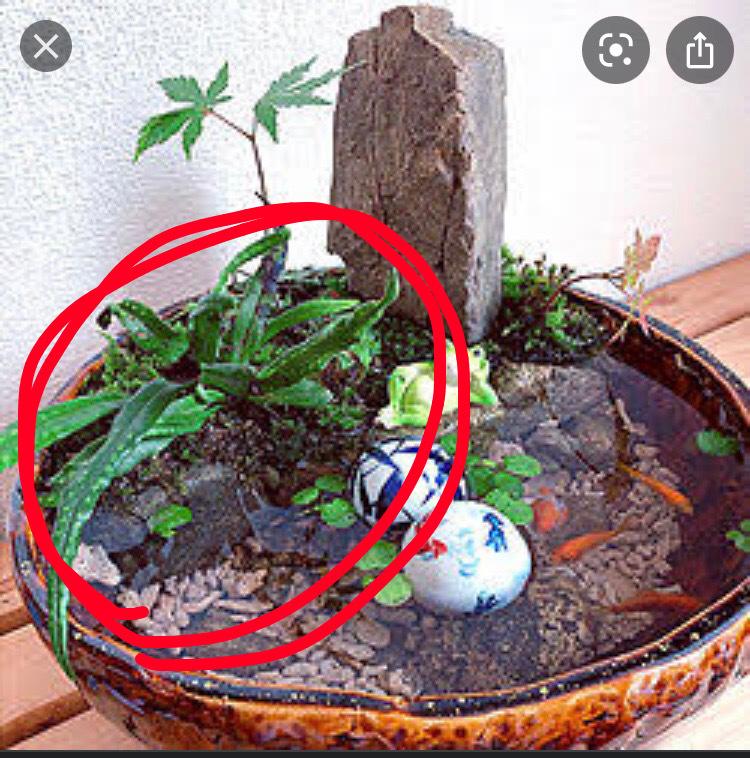 植物の名前を教えて欲しいです。 ネットで見つけた画像なのですが、赤丸で囲った植物の名前が知りたいです。 また、どういうお店で買えますか?野生で生えているものですか? よろしくお願いします。