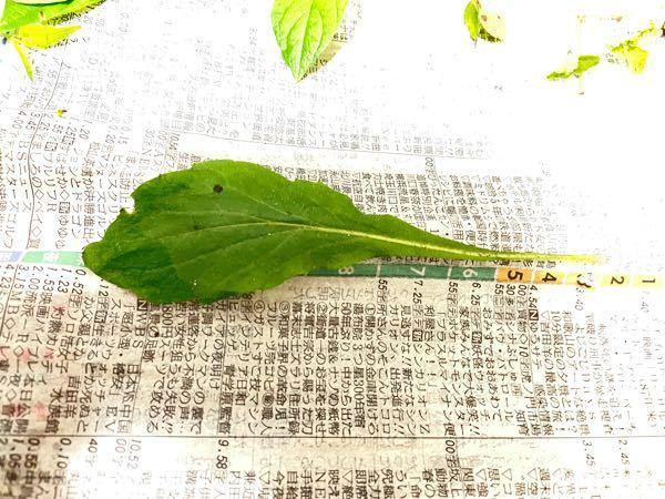 これは何の葉ですか?