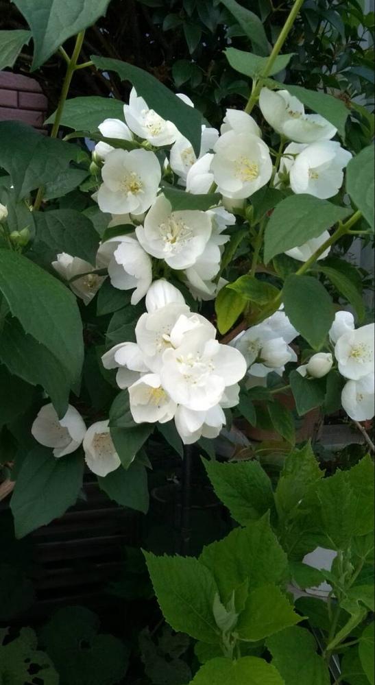添付写真の植物の名前を教えてください。