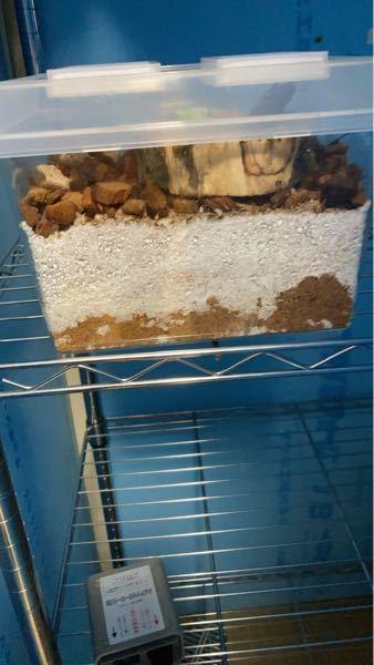 オオクワガタの菌床産卵について質問です。月夜野きのこ園さんの菌床産卵セットを購入して約1週間くらい経ちメスがずっと写真のように潜りっぱなしで菌床を荒らしてるのですが、これは産卵しているのでしょうか?そ れともただ暴れているだけなのでしょうか?ペアリングは確認しました。
