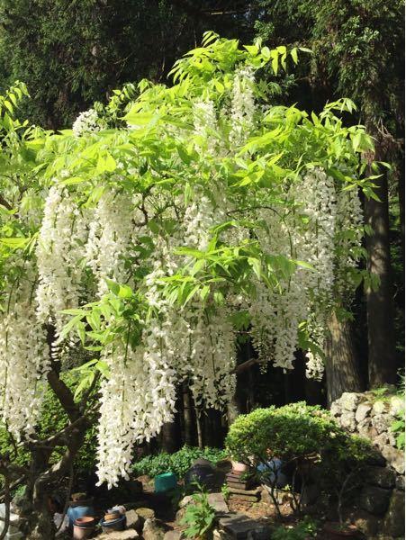 5月、丹沢大山で見かけたこの植物の名前を教えてください。