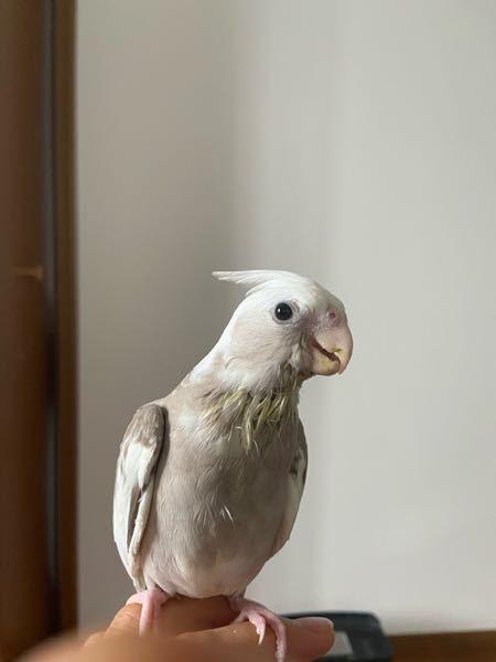 オカメインコ、シナモンパイド生後2ヶ月半 雄、雌の予想を教えてください!!