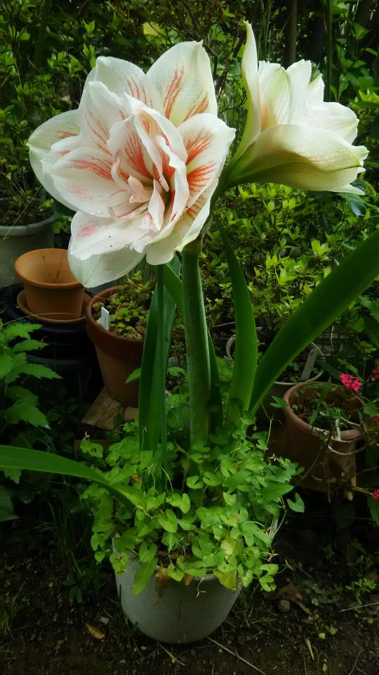 この植物の名前は何ですか? 大阪府富田林市で5月16日(日)に撮影しました。 どなたかよろしくお願いします。