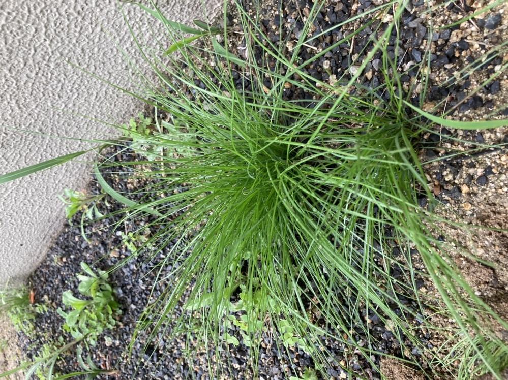 この植物が何かわかる方がいらっしゃいますか?庭に生えています。