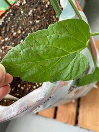 ベランダで栽培してるミニトマトのひとつの枝の葉に、黒い斑点がついてます。 これは病気なのでしょうか?それとも低温障害なのでしょうか?