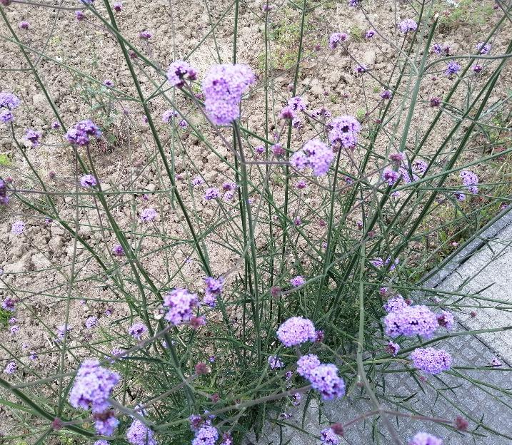葉が殆ど無い長く伸びた茎の先端に薄紫の花が房になって咲いている草を見付けました。 何と言う植物かご存知の方がいらっしゃいましたらお教え下さい!