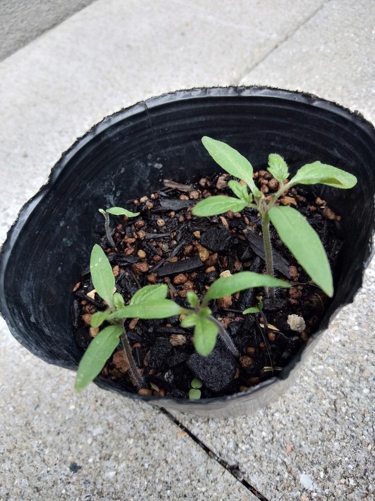 家庭菜園を始めましたが、誤って同じポットに別の何種類かの種をまいてしまいました。 レタスかオクラかキューリかトマトか豆類か分からないので、画像を見て分かる方がいらっしゃれば、教えてください。 よろしくお願いいたします。