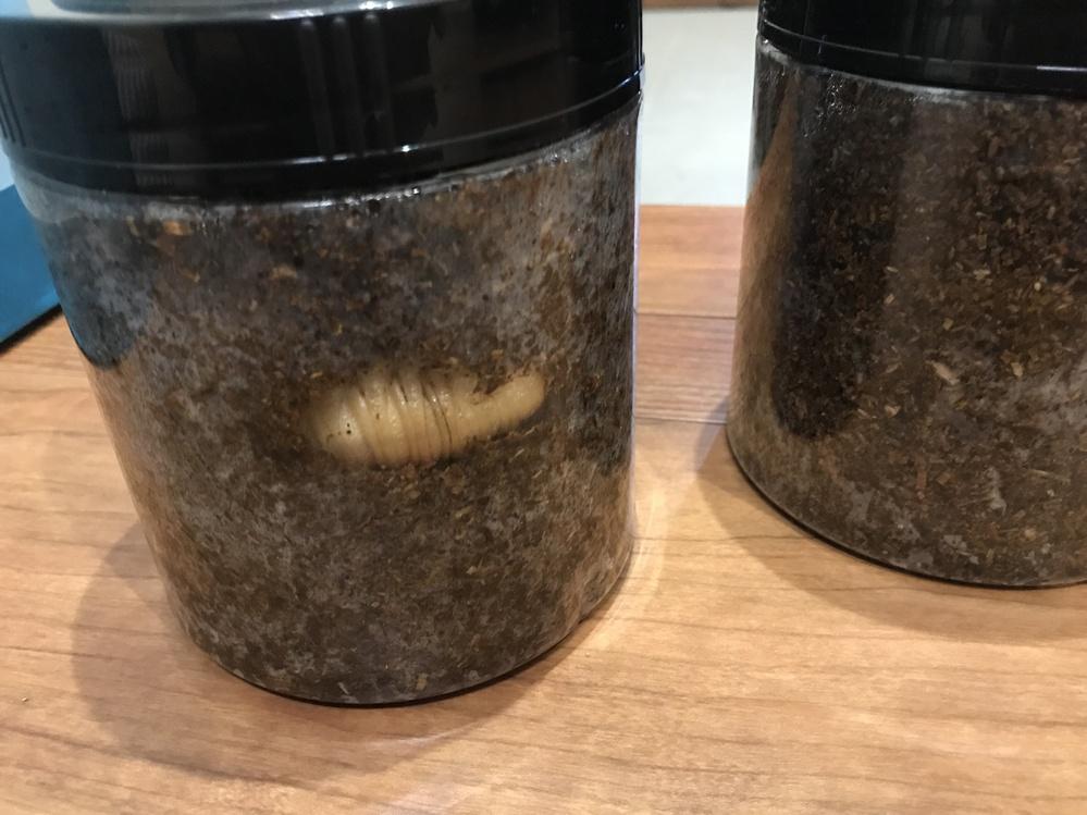 カブトムシの幼虫を、ひとつずつ、卓上のりの容器に入れて、五つ頂きました。 全くの初心者&虫ダメ主婦ですが、子供達の興味のためにも、なんとか全部とはいかないまでも成虫まで漕ぎ着けたいと思っています。 ●今後、どのようにしたらいいか ●のりの容器のままでも行けるか ●大きな容器で全部一緒にしてしまった方がいいのか (虫ダメ主婦ですので、できれば極力触らず卓上のりの容器のままやりたい) ●何をどうすればいいのか、、、 詳しい方、ご経験のある方、教えていただけたら嬉しいです。