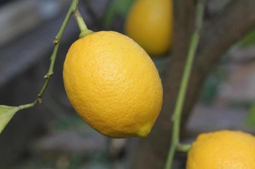 レモンの木は、庭先やベランダの鉢植えでも育てられるそうです。 レモンの実がなるまでには、2~3年かかります。 レモン以外でも、時間をかけて植物を育てたいとか、栽培とか趣味でやってみたいと思った事ありますか?