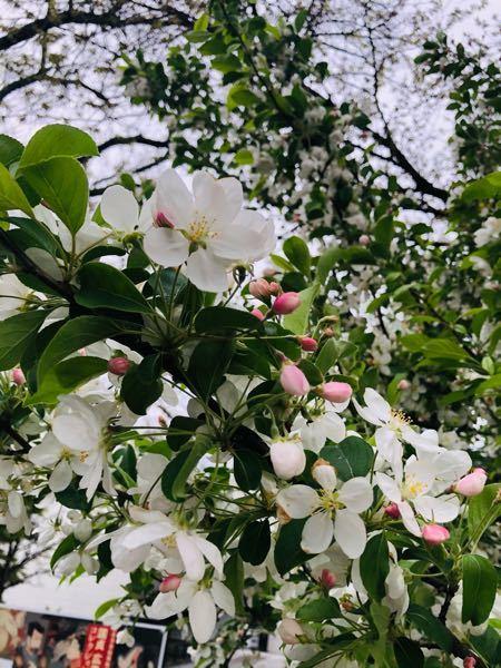 これってリンゴの花ですかね?